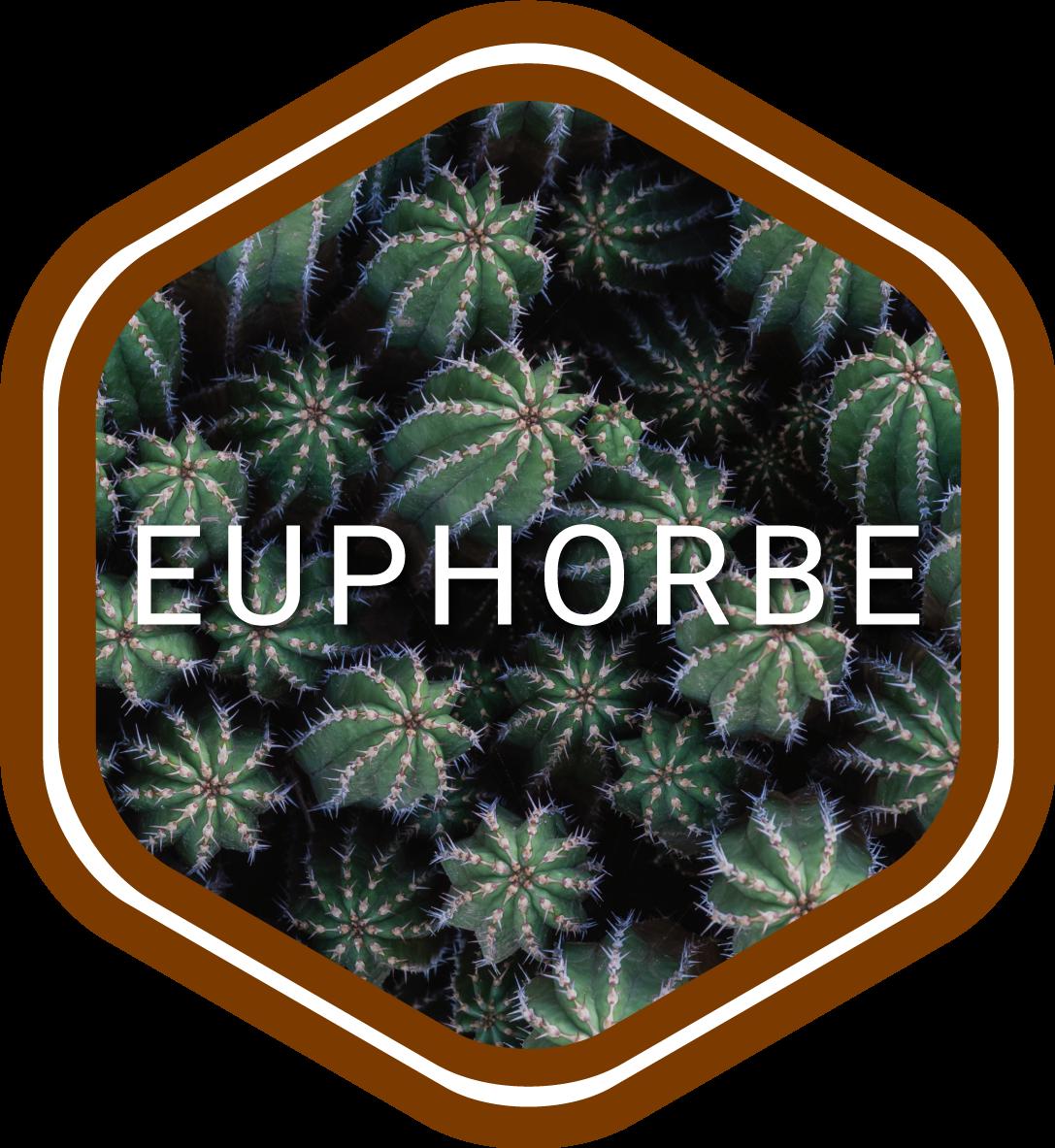 euphorbe-maroc